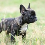 French Bulldog Weight