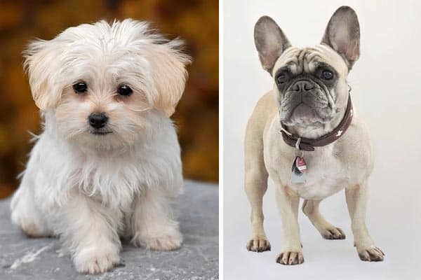 French Bulldog Maltese Mix - Photo by anythingfrenchbulldog