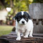 French Bulldog Poodle Mix - Photo by petguide