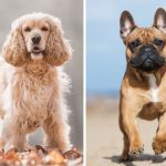 French Bulldog Cocker Spaniel Mix - imaged by anythingfrenchbulldog