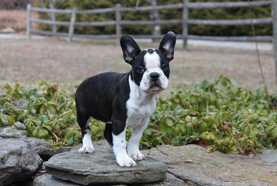 French Bulldog Pomeranian Mix - Image By frenchie world