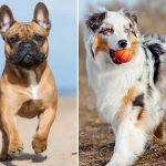 French Bulldog Aussie Mix - Image By anythingfrenchbulldog