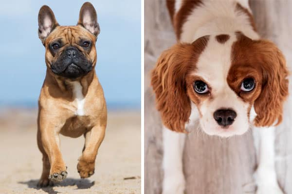 French Bulldog Cavalier Mix - Image by anythingfrenchbulldog