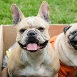 French Bulldog And Pug Mix - Image By loveyourdog