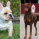 French Bulldog Doberman Mix - Image By anythingfrenchbulldog