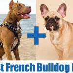French Bulldog vs English Bulldog 2021