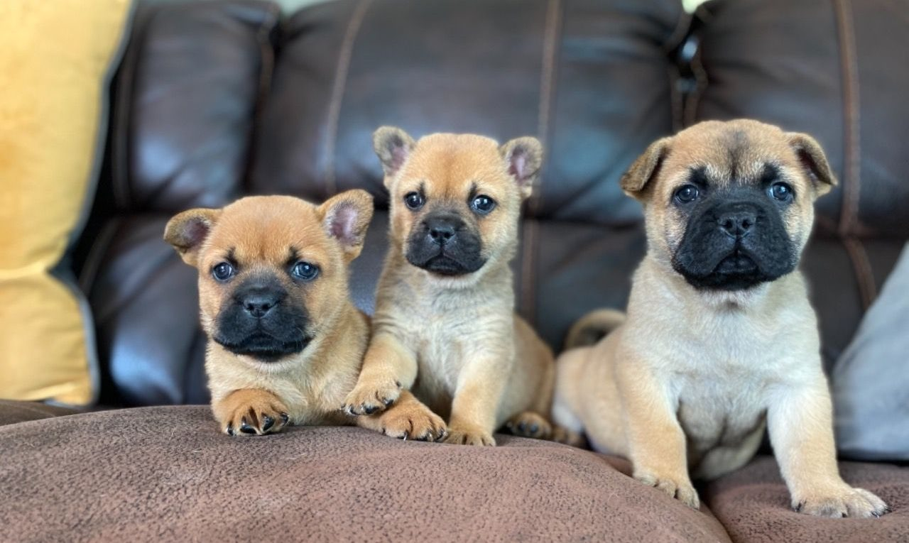 French Bulldogs Chow Mix 2021 - Image By pets4homes