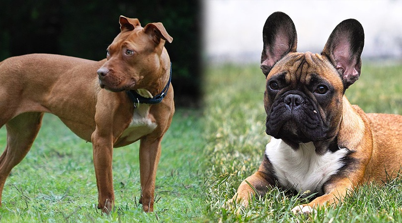 How To Care For A French Bulldog Pitbull Mix - Image By doggiedesigner