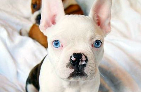 How To Train French Bulldog Food Mix