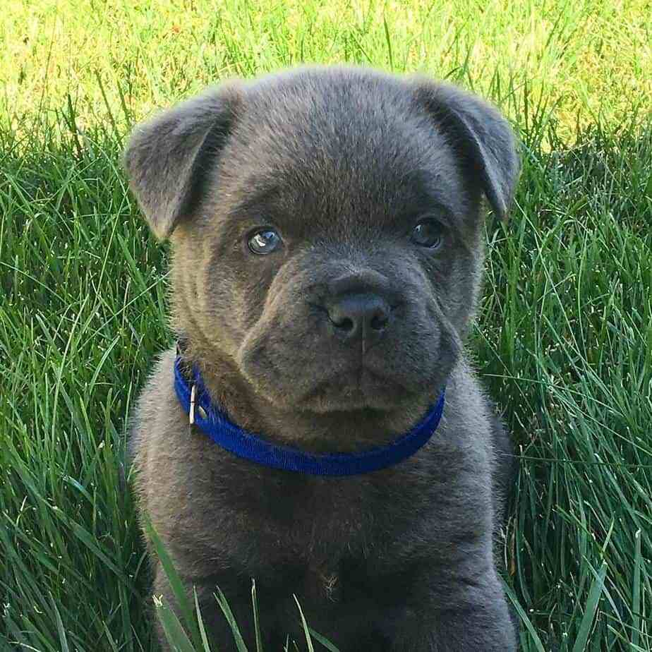 What Are French Bulldog Chow Mix - Image By doggypedia