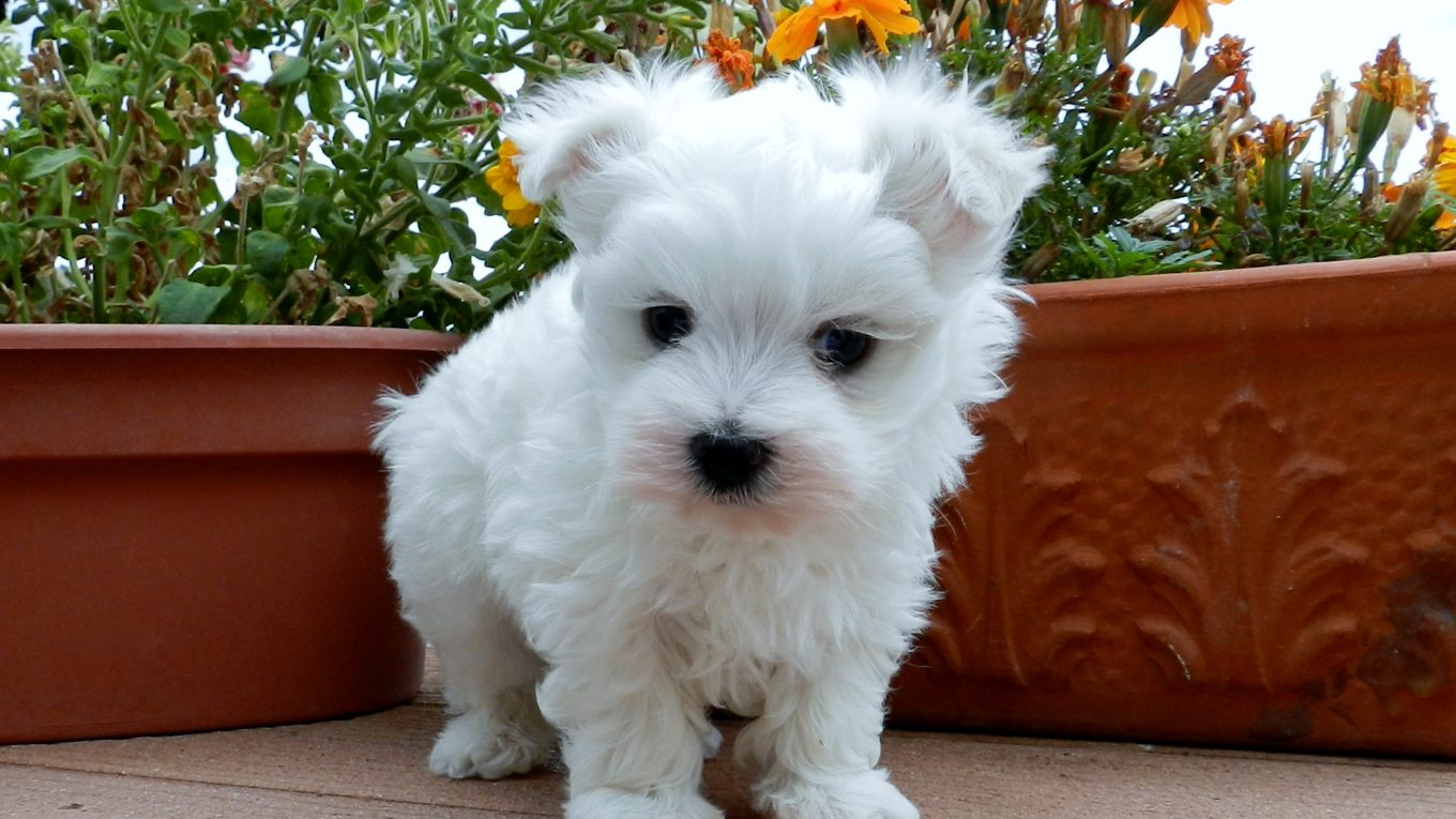 French Bulldog Maltese Mix - Image By maiasminisupremes