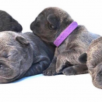 French Bulldog Pregnancy Stages