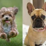 French bulldog Yorkie mix 2021