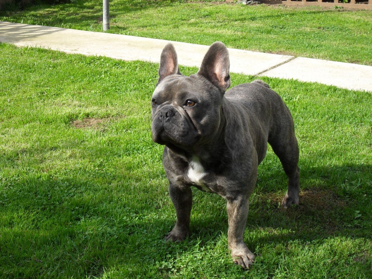 How To Care For A Brindle French Bulldog - Image By pets4homes