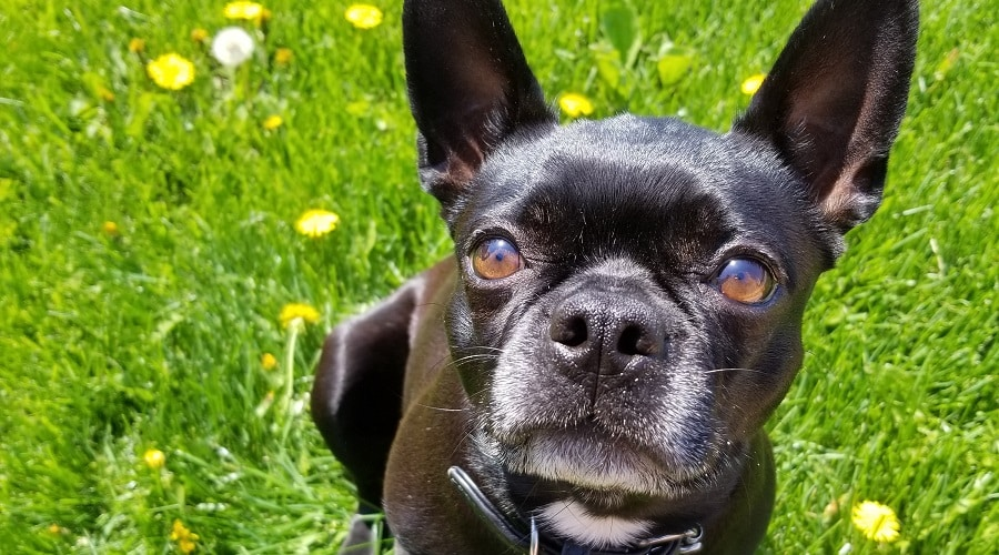How To Care For A Maltese French Bulldog Mix - Image By LoveYourDog