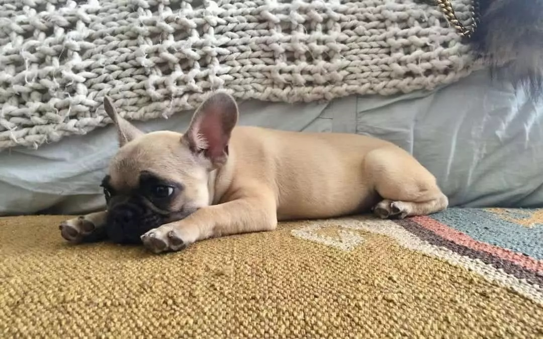 How To Treat French Bulldog Diarrhea - Image By frenchbulldogtexas