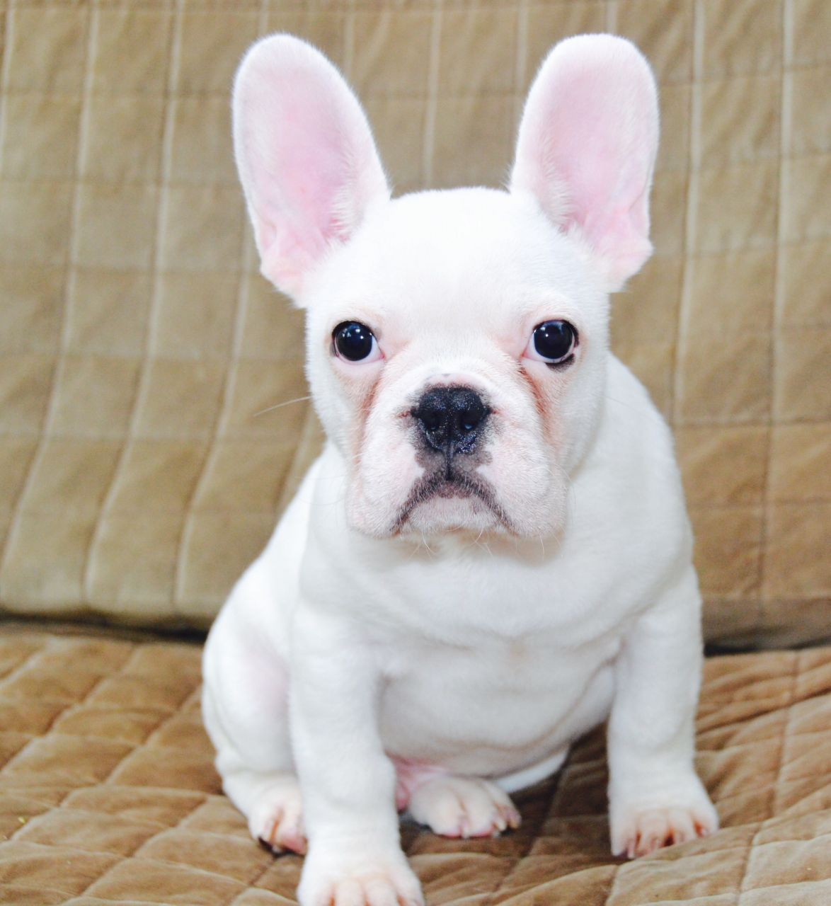 How to Care For White French Bulldog