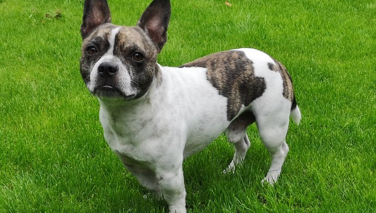 How to Train a Maltese French Bulldog Mix