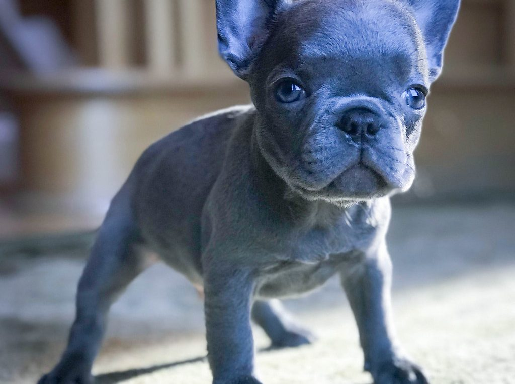 Lilac French bulldog 2021 - Image By Flickr