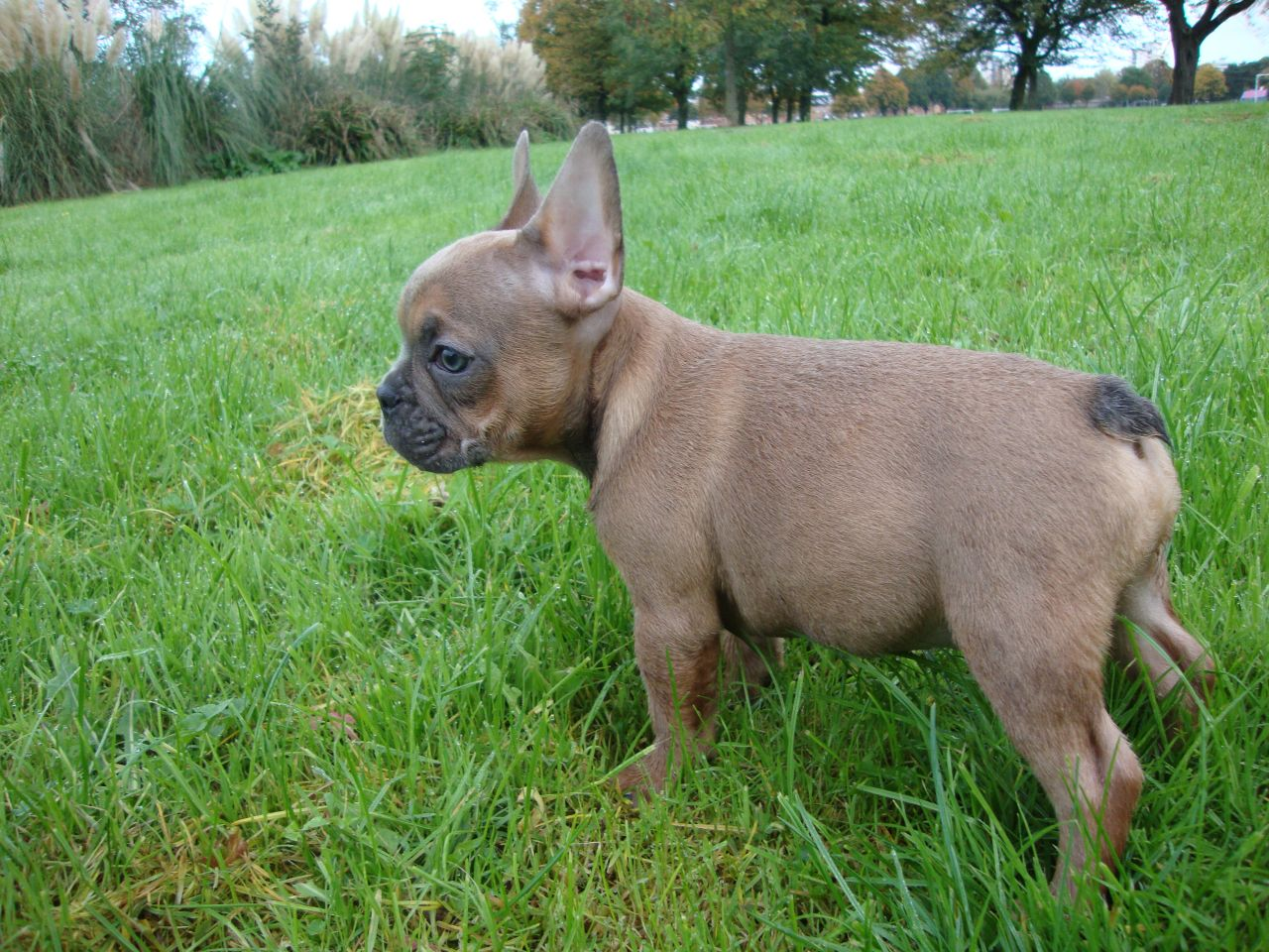 Other Facts About French Bulldogs