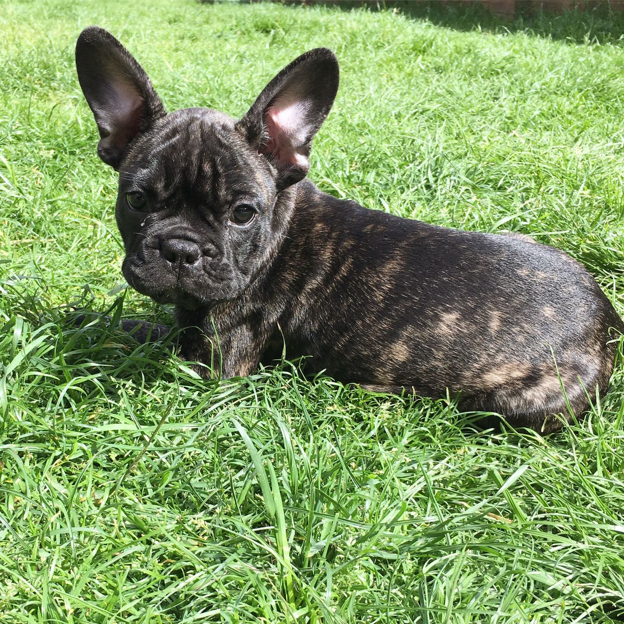 Some Facts About The Brindle French Bulldog - Image By pets4homes