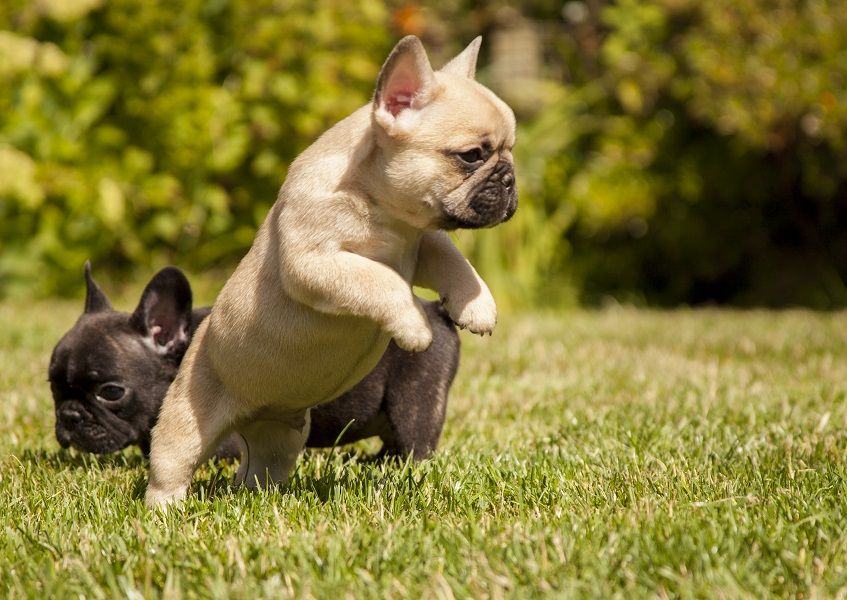 What Is A Fawn French Bulldog