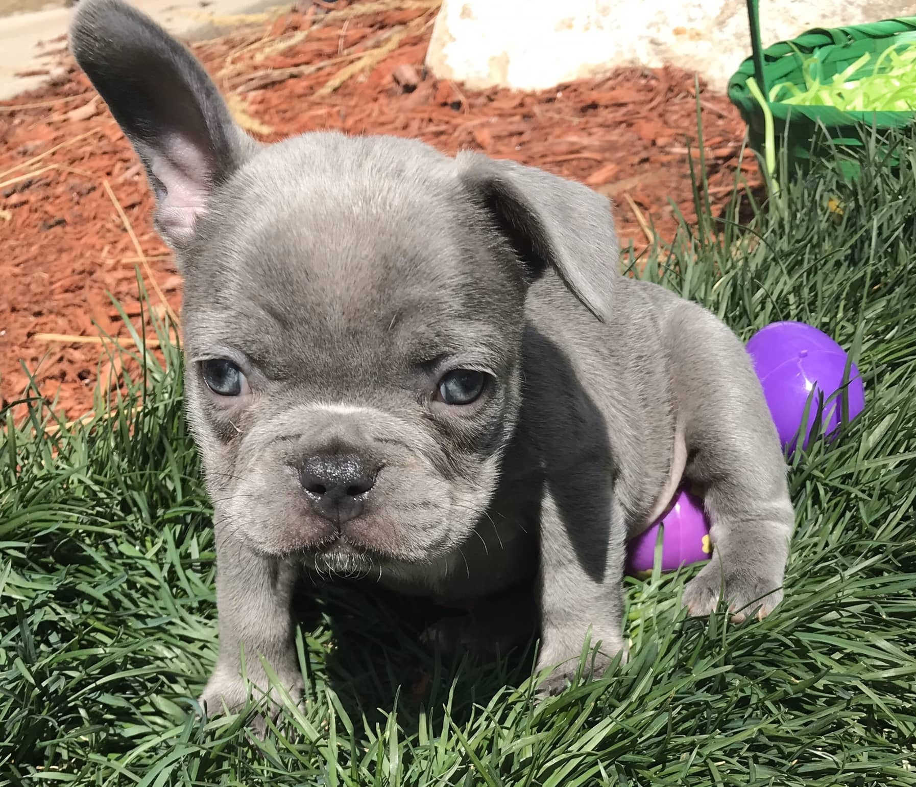 What is a Lilac French bulldog - Image By thefrenchbulldog