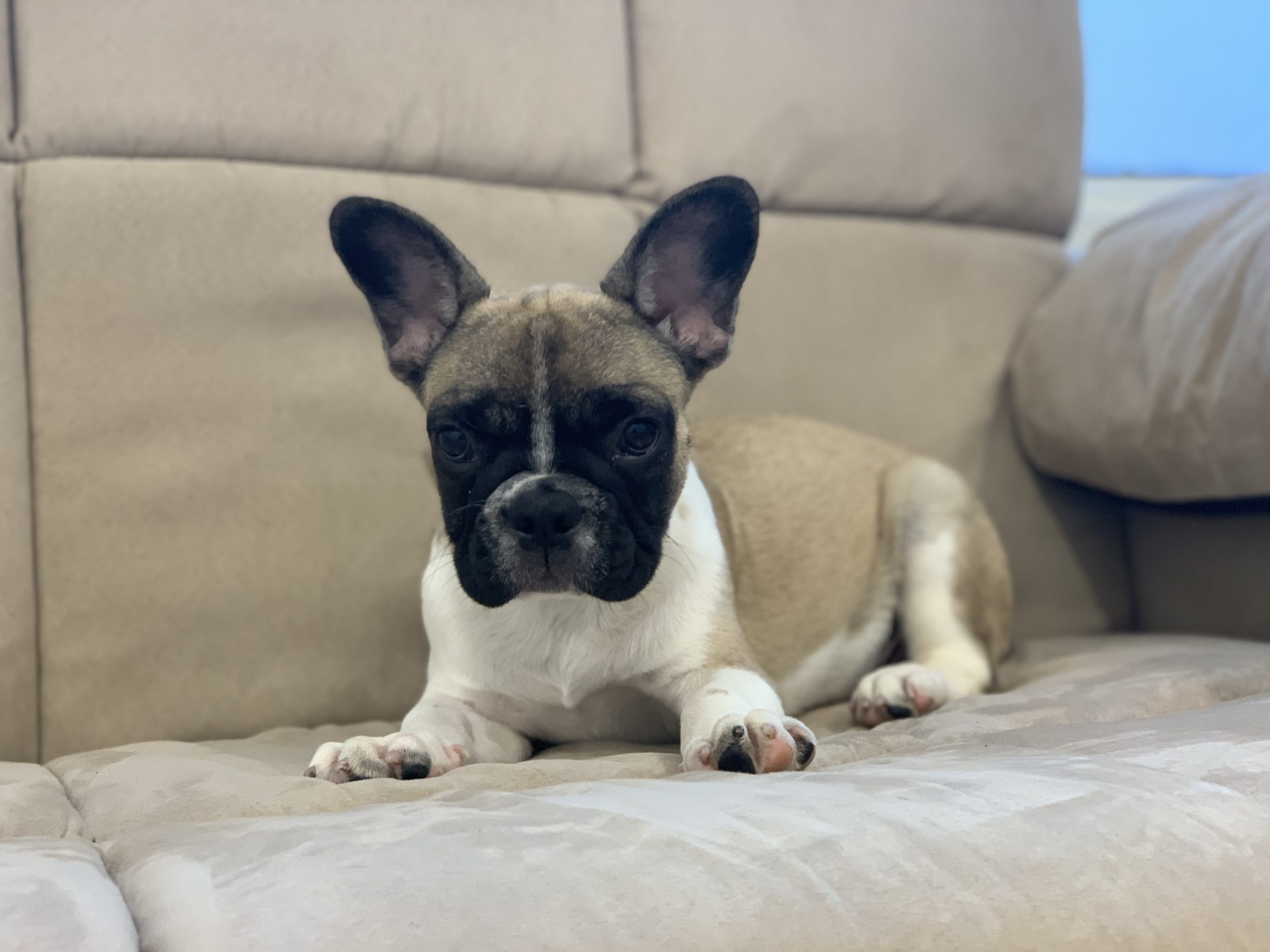 What is a White French Bulldog