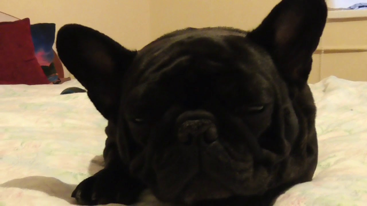 Why do French bulldogs snore so loud