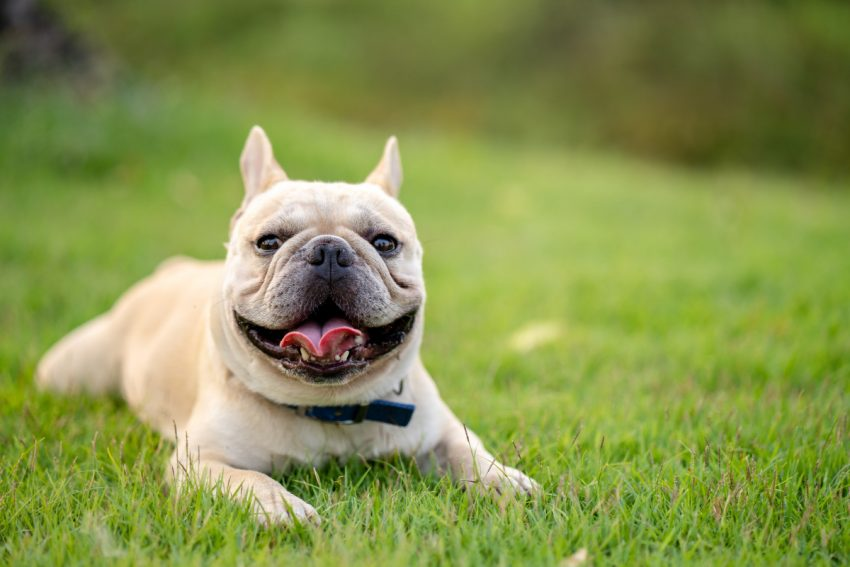 Are French bulldogs bad for allergies?