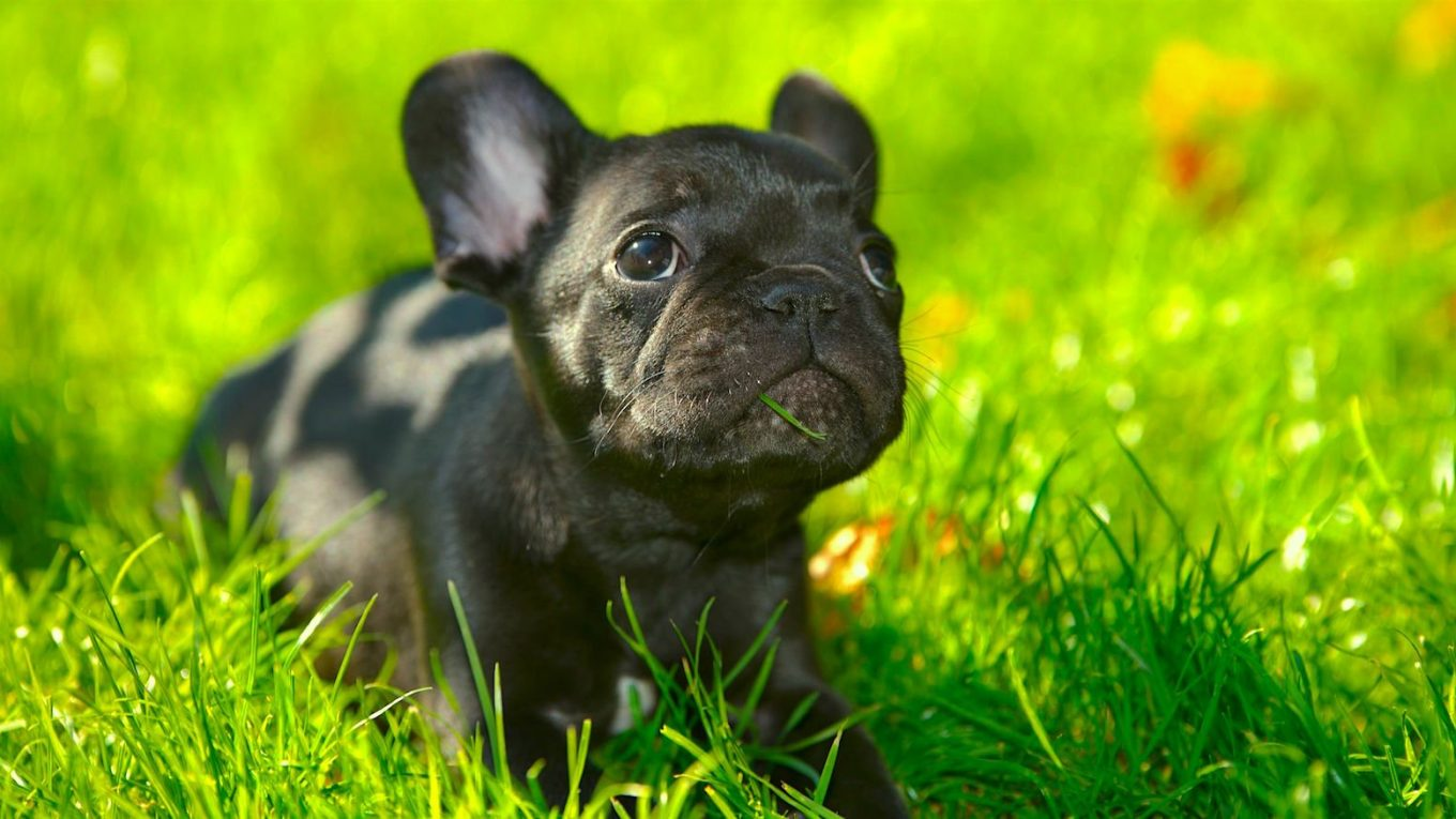 Can french bulldogs breed naturally