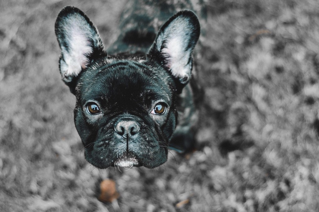 Common Eye Problems Of French Bulldogs