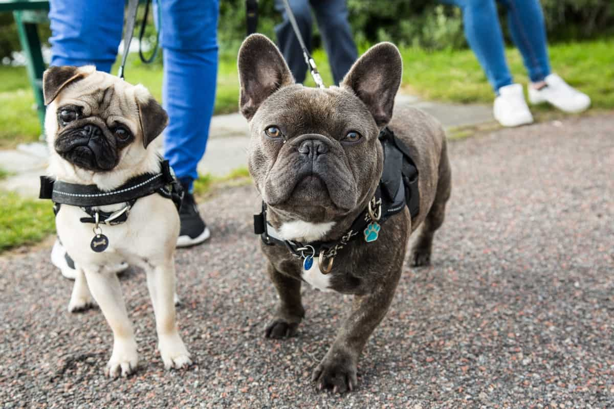 Differences Between A Male French Bulldog And Female French Bulldog