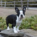 French Bulldog Boston Terrier Mix
