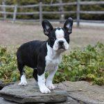 French Bulldog Boston Terrier Mix