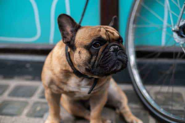 Where can I register my Frenchie as a service dog?