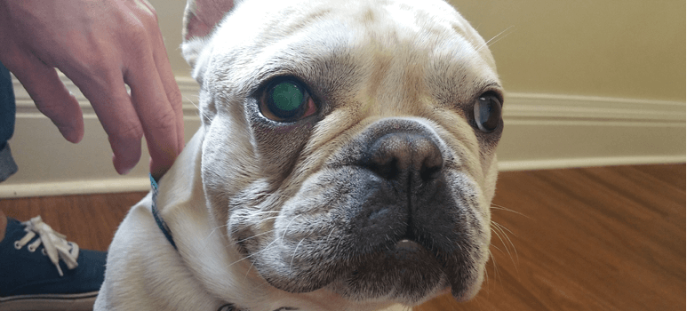 French bulldog eye problems