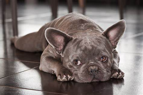 How To Prevent French Bulldogs From Having Eye Problems Again