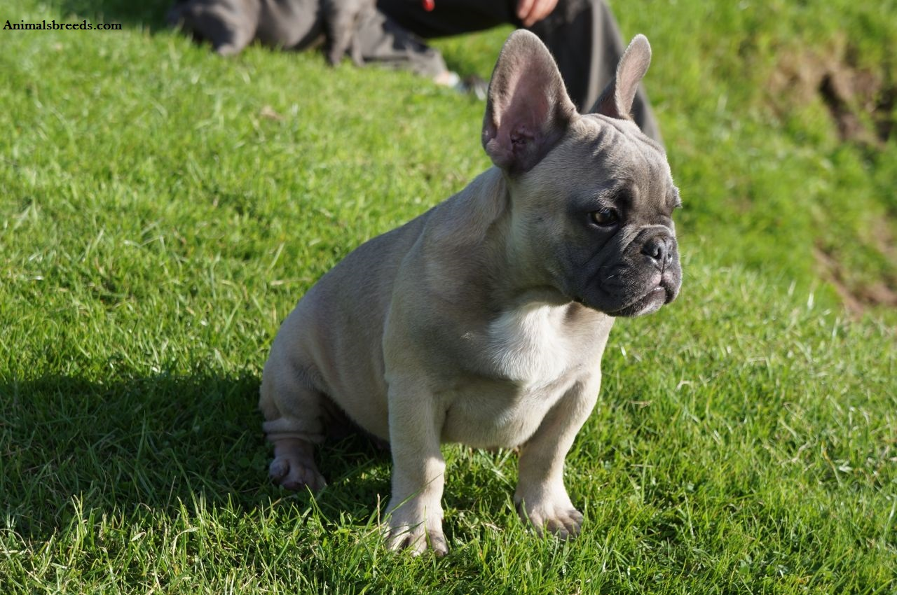 How many times a year Do French bulldogs have their puppies