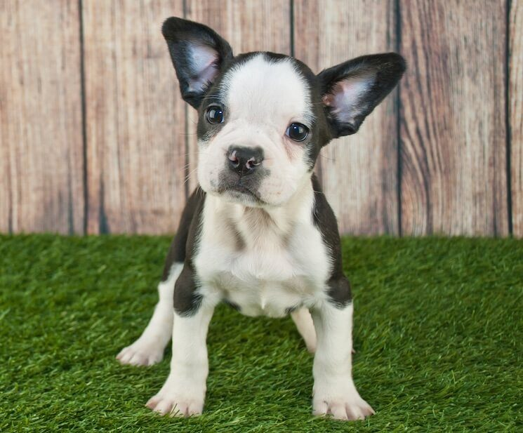 How to care for a Boston Terrier French Bulldog mix - Image By allthingsdogs