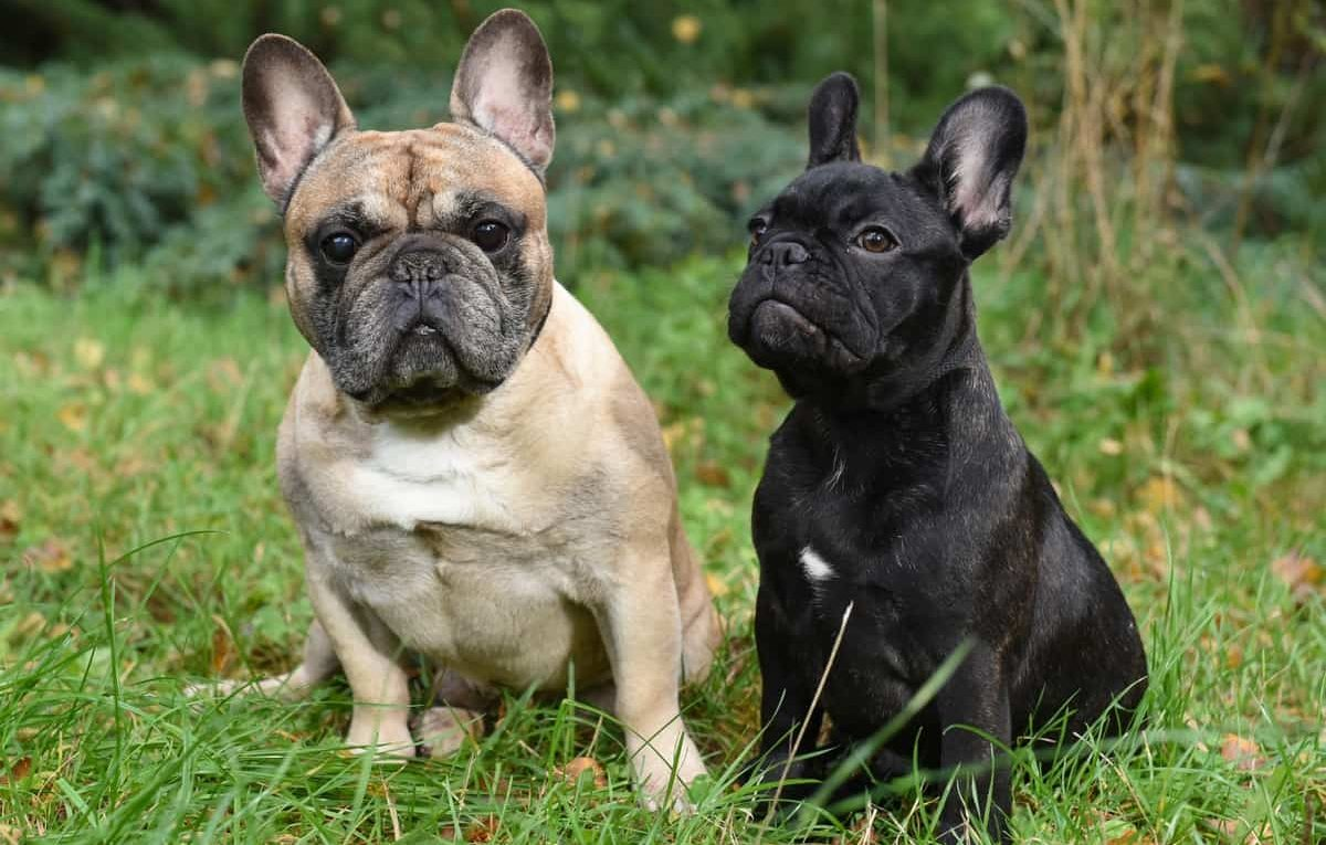 Male French Bulldog Vs Female French Bulldog
