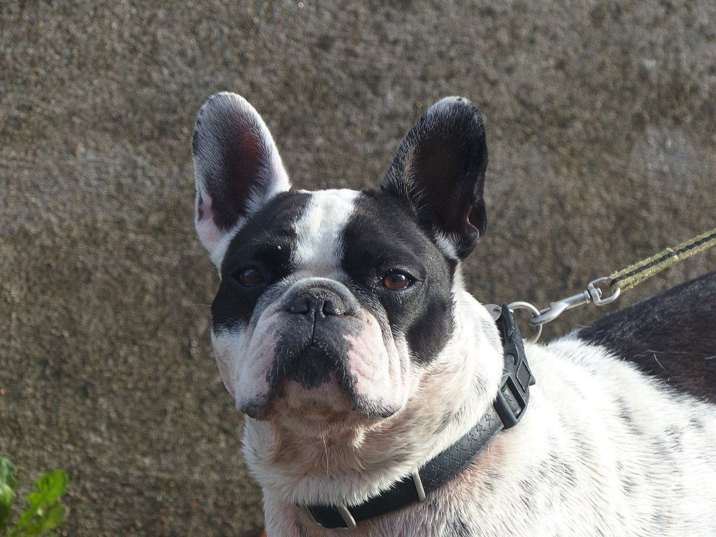 What Are The Basic Size And Weight Of A French Bulldog