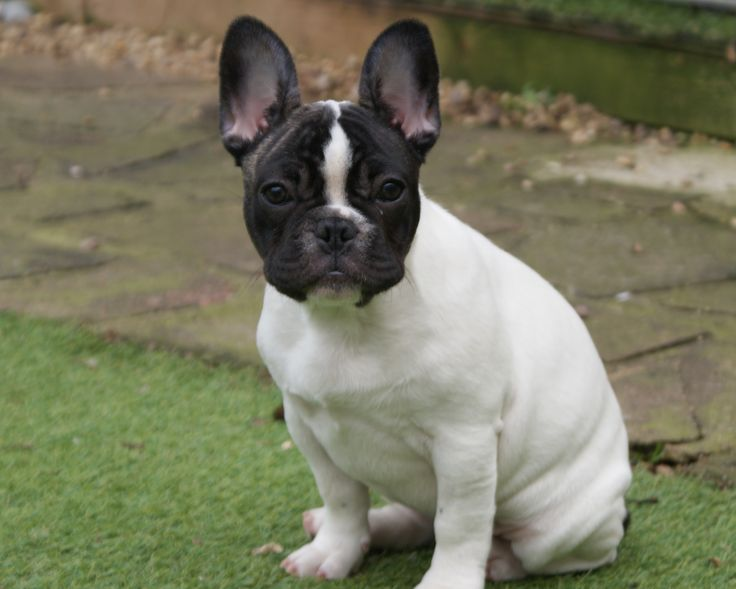 What is a Boston terrier French bulldog mix