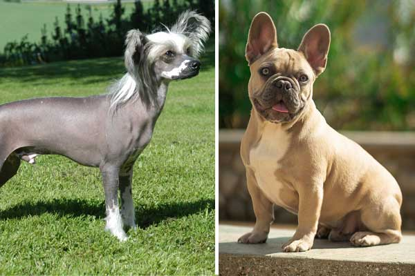 What is a Chinese crested French bulldog mix