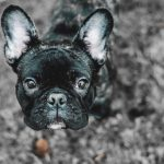 Why Does My French Bulldog Have Red Eyes