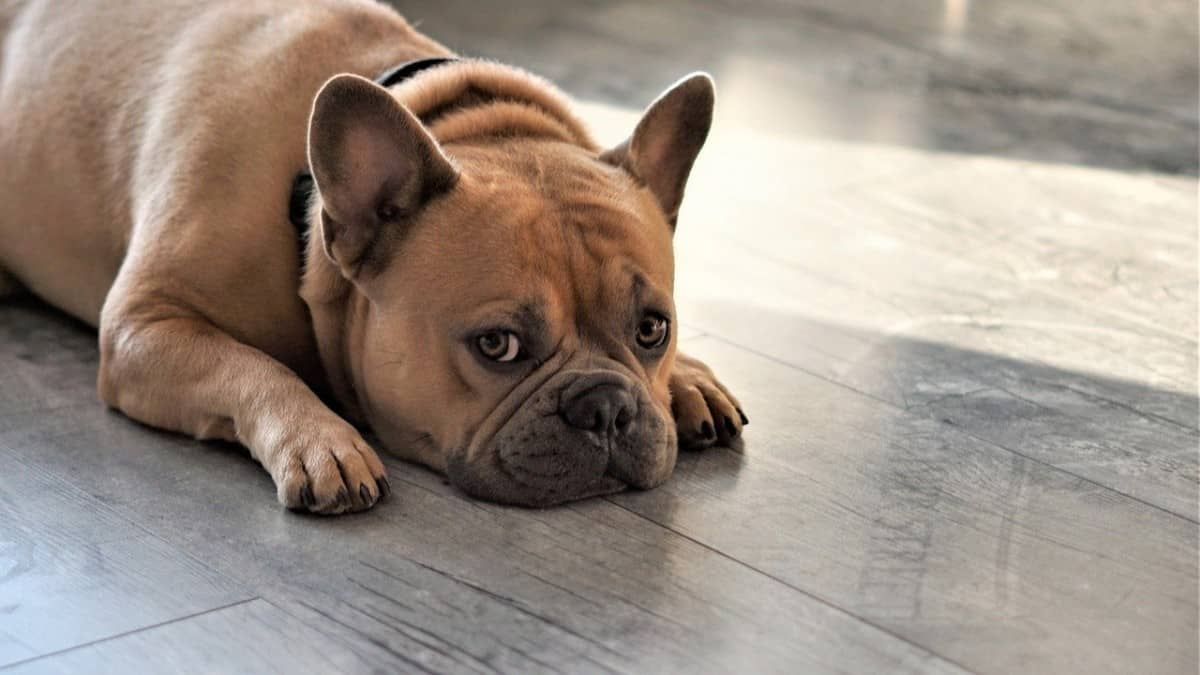 Why a hypoallergenic French Bulldog? - Image By frenchbulldogio