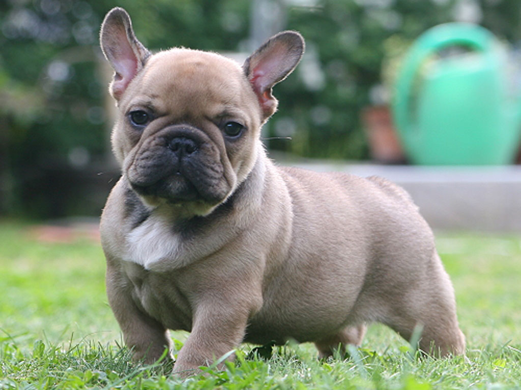 Why can't French Bulldogs mate naturally
