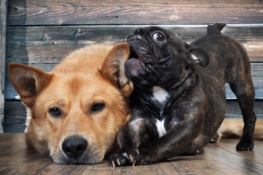How To Train A French Bulldog Puppy Not To Bite