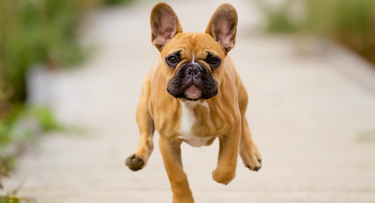 What Causes Short Lifespan of French Bulldogs