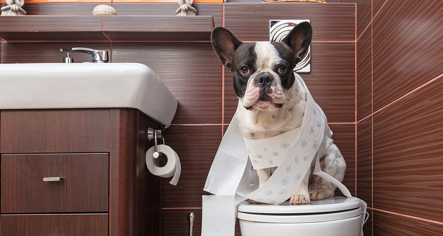 Why Do your French bulldog poop so many times